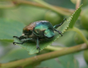 Japanese beetle - face-on.